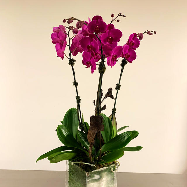 Tall Purple Orchids, Perfect Side Table Piece Velene's Floral