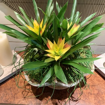 Bromeliads in Yellow Velene's Floral