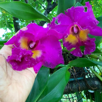 Vibrant Purple Orchids Velene's Floral
