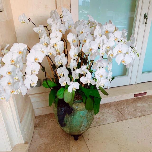 Tall White Orchid Plants Velene's Floral